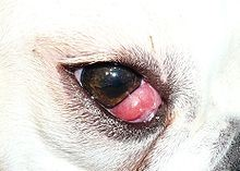 Appearance of Cherry Eye