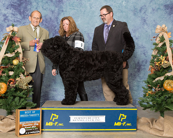 Young Oli Becomes a New AKC Champion, Furniture City, North Carolina, Nov. 2016