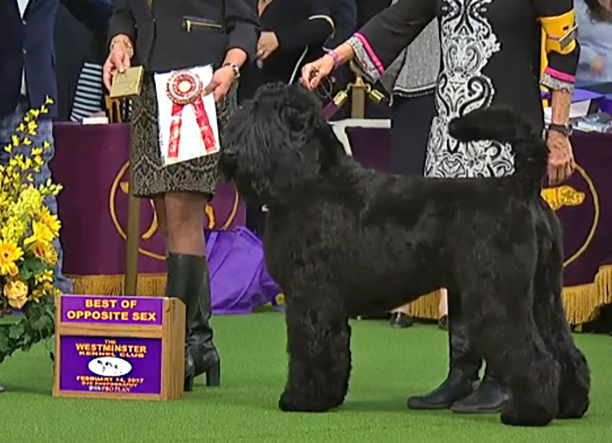 Arisha, 2017 Westminster Kennel Club, Best of Opposite Sex