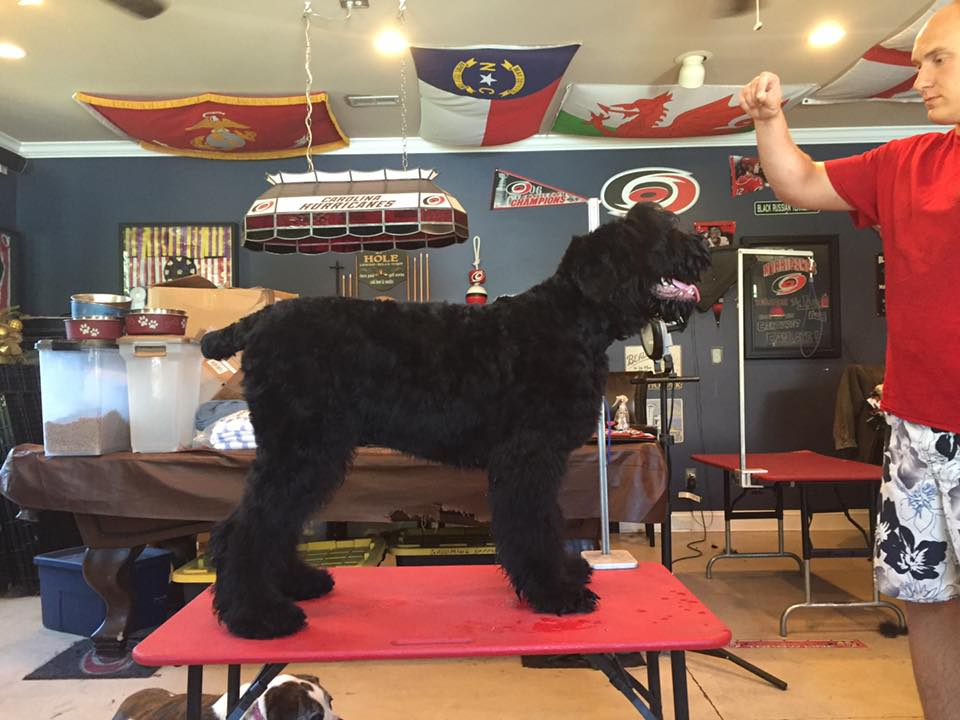Jax (Guardian Bears Commander In Chief) getting groomed for the dog show