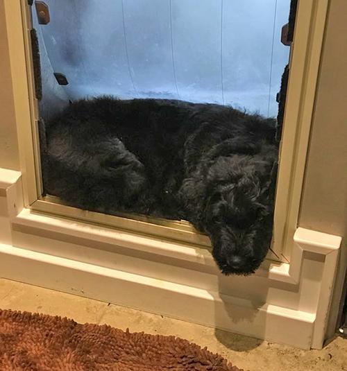 Merle-sleeping-in-doggy-door.jpg