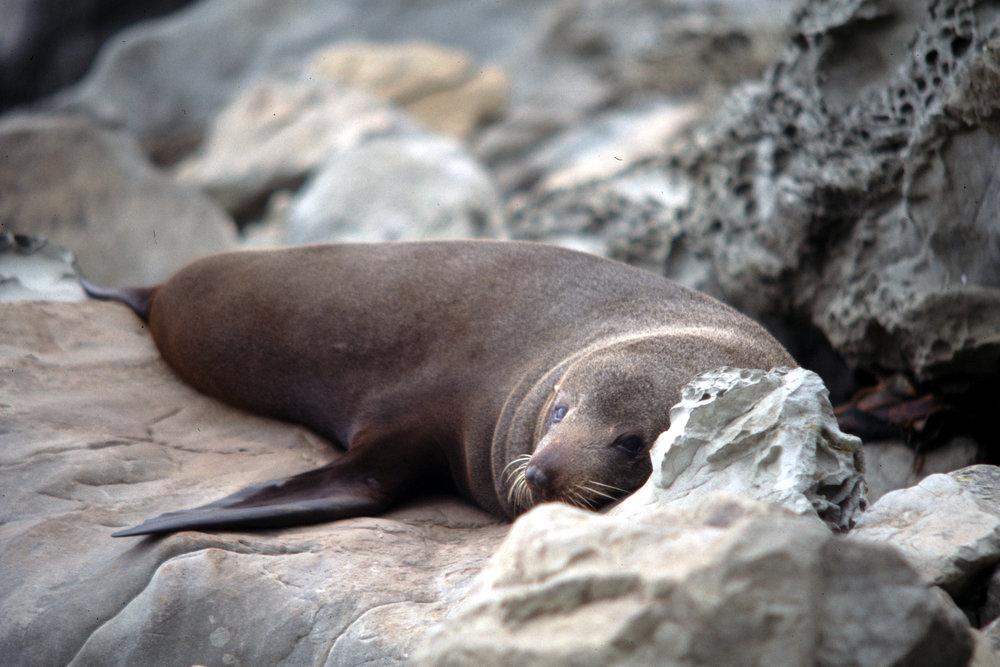 Seal, Kaikoura.