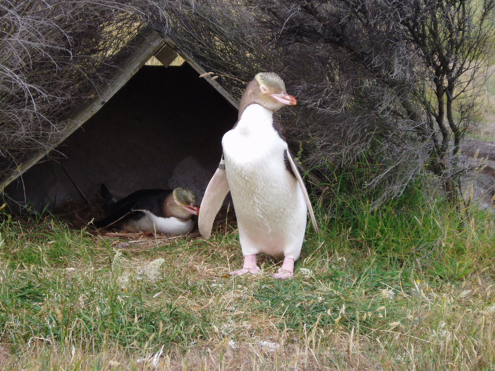 Yellow-eyed Penguin, Penguin Place.