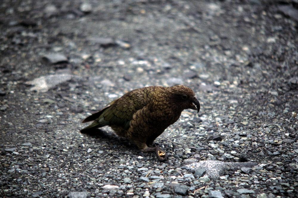 Kea, alpine parrot.