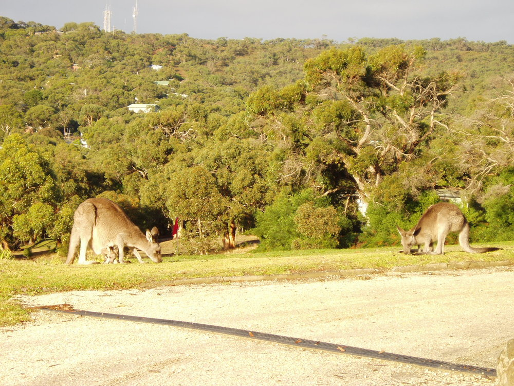 Grey kangaroos, Anglesea Golf Club.