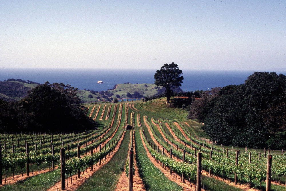 Young vineyard, Waiheke Island.