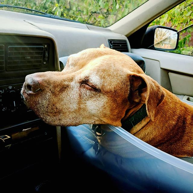 I think he likes it! Took a spin and he was much more comfortable. Success! . . . #dogismycopilot #dogsincars #dogs #amstaff #amstafflove #amstaffrescue #staffylove #pittylove #dontbullymybreed #bslsucks #dogsafety
