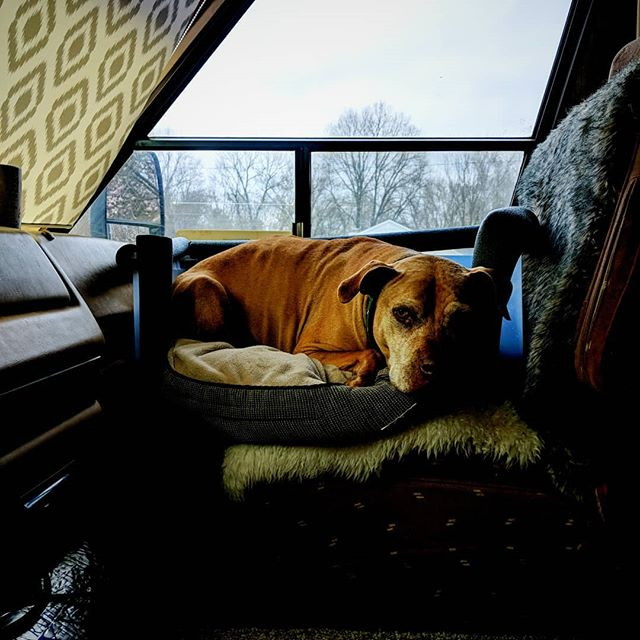 Hooray the safety basket fits the RV too! . . . #dogismycopilot #dogsincars #dogsinRVs #homeiswherethedogis #homeiswhereyouparkit #dogs #amstaff #amstaffrescue #pittylove #staffylove #dogsafety #dontbullymybreed #bslsucks #travellingcompanion #mydog #pitbullrescue #MagnusTheAmstaff