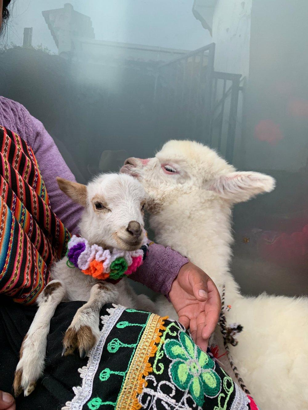 Lamb & Alpaca
