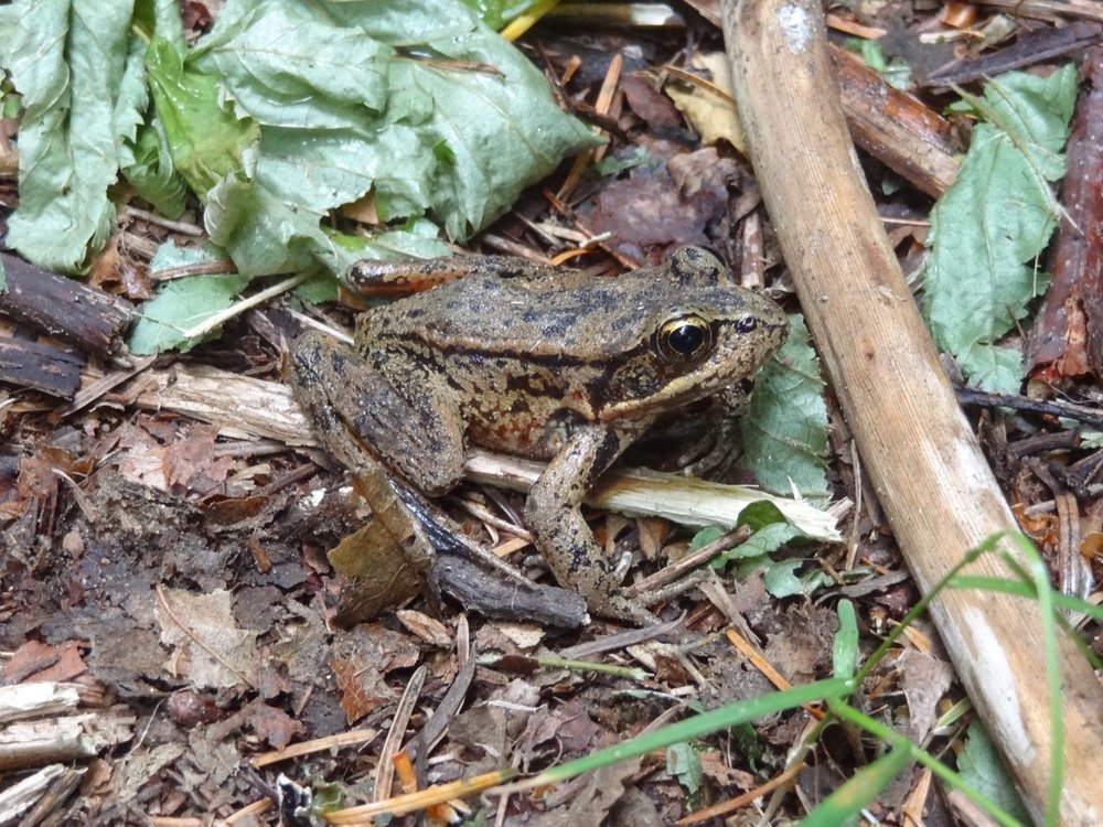 Northern Red-legged Frog (July 20, 2017)
