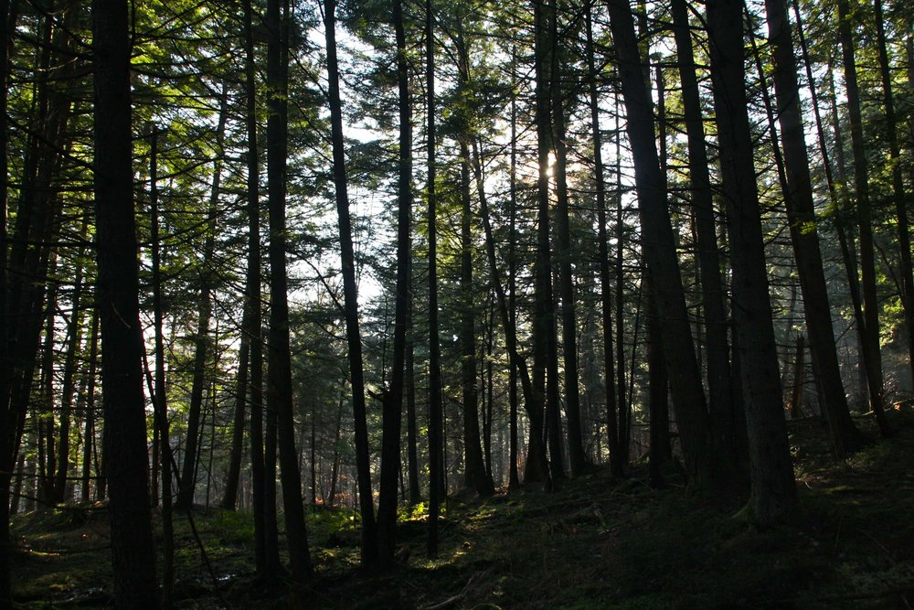 Dense and sheltering Hemlock stands are the preferred shelter for many animals against wind and winter cold /image: Nebraska Knoll Blog