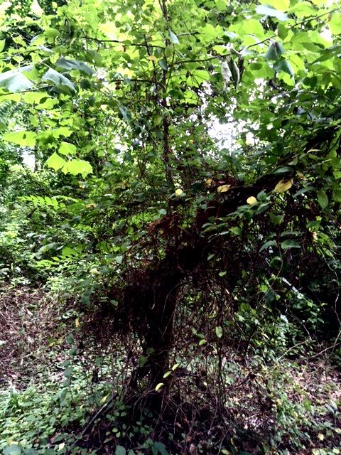 invasive-vines.png