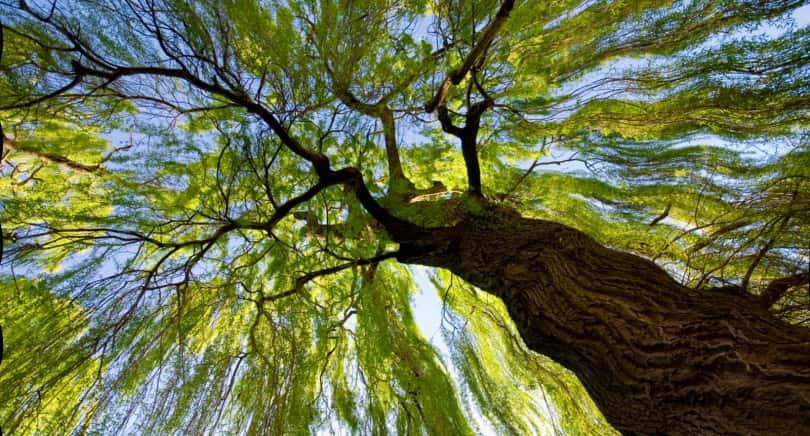 willow_tree__christchurch__new_zealand-810x436.jpg