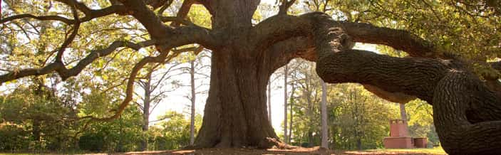Emancipation Oak / image:  Remarkable Trees of VA