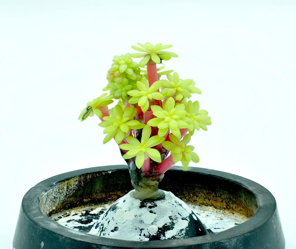 The positive model before it is encased in plaster- tips of the golden moss succulent put on pink wax channels to direct the flow of silver into the center of the florets.