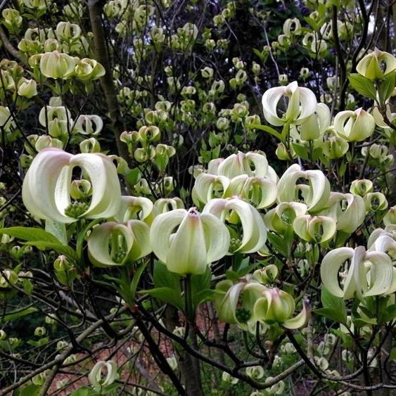 Mexican Flowering Dogwood / Cornus florida urbiniana image: Brendan Lange