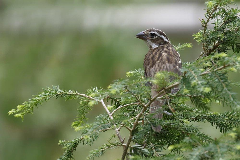 A female grosbeck perched in a Hemlock tree