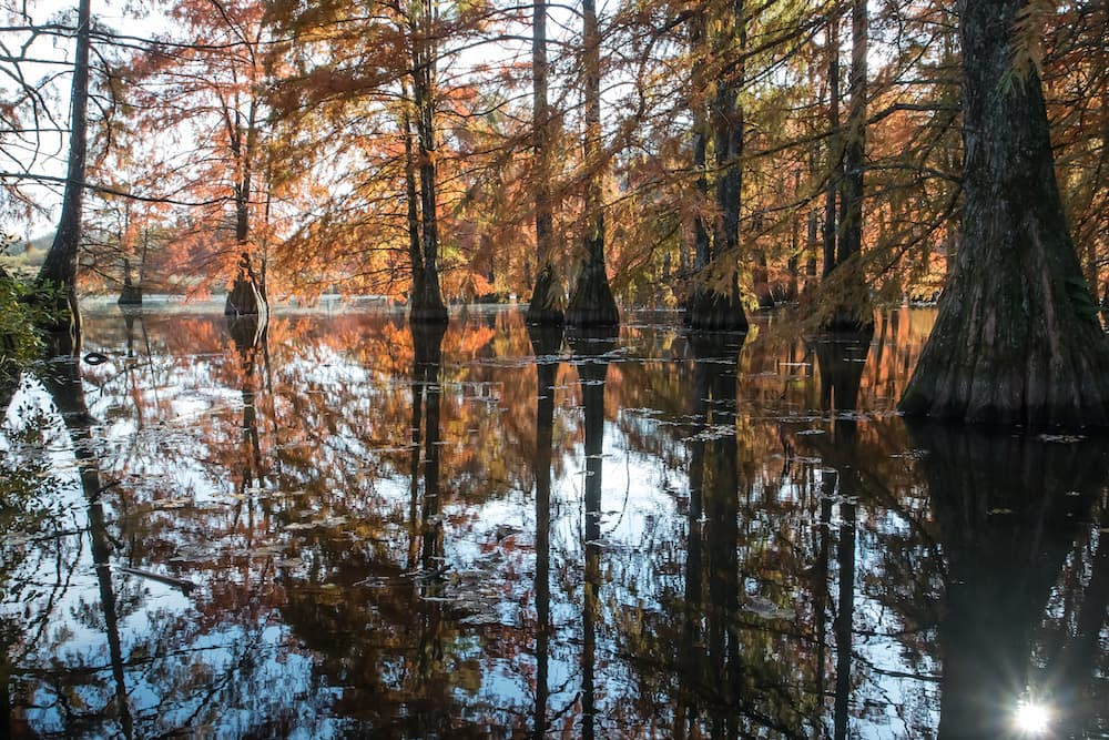 bald-cypress-trees-in-water