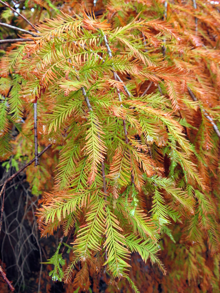 bald-cypress-leaves