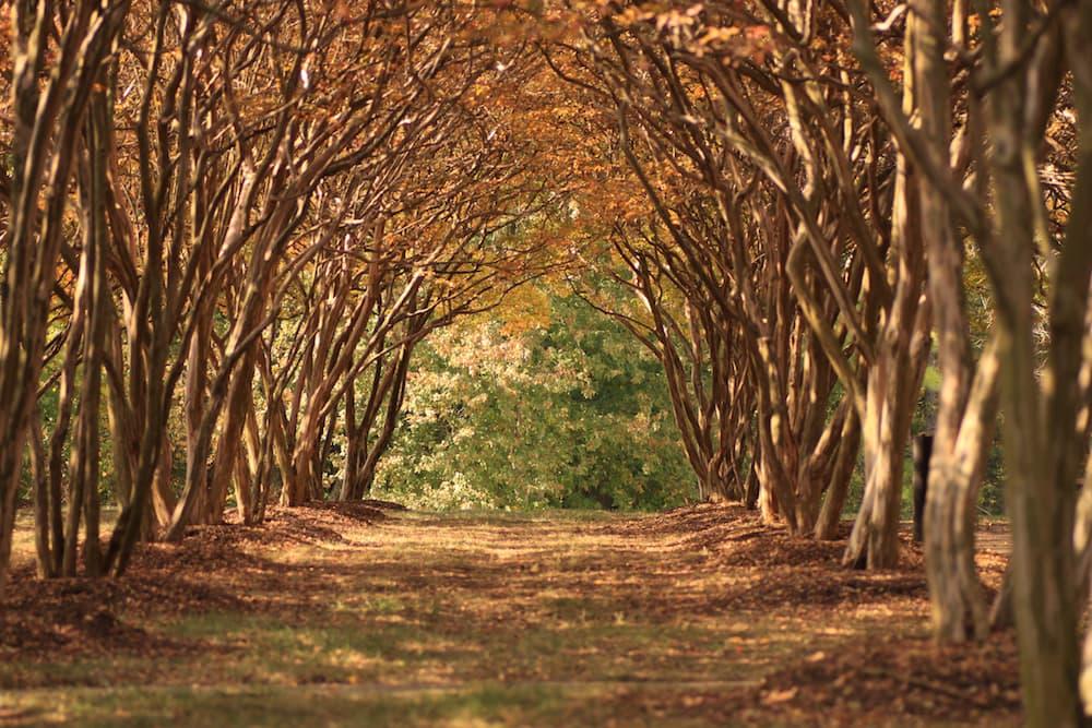 Crepe Myrtle, Lagerstroemia ID 34836954 © Twoellis | Dreamstime.com.jpg