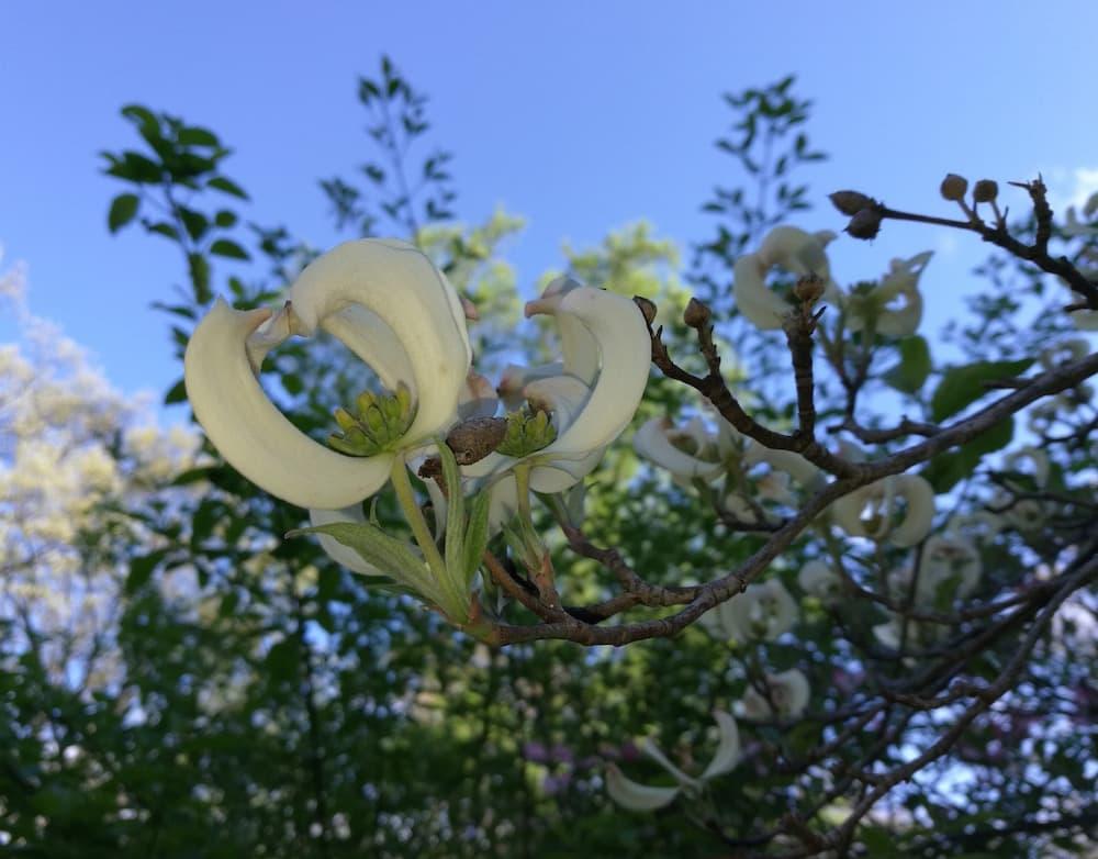 magic-dogwood-mexican-flowering-dogwood-cornus-florida-urbiniana-national-arboretum-washington-dc-optimized.jpg