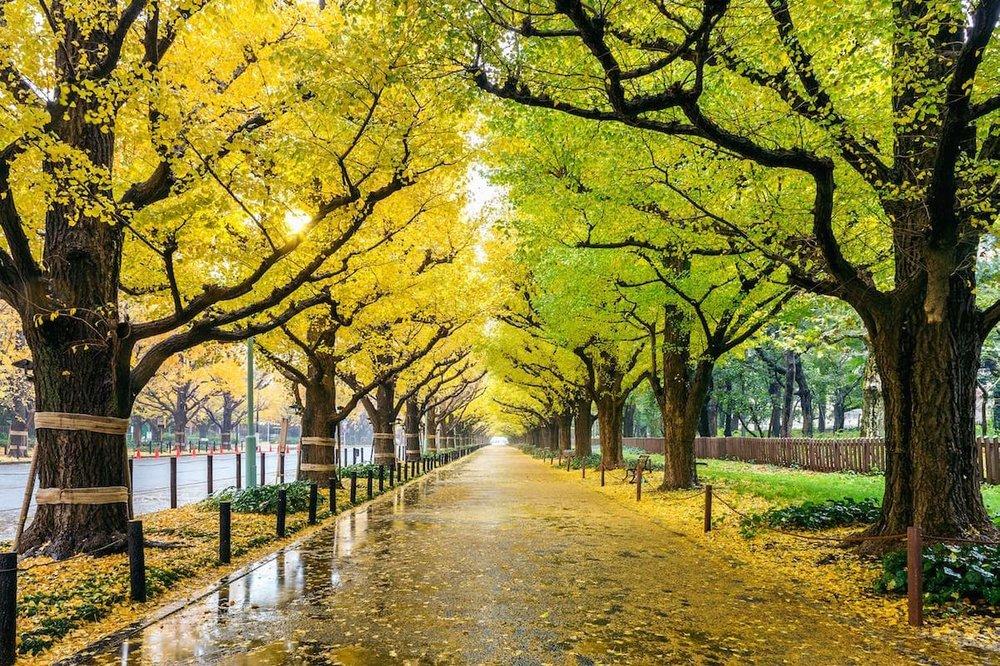 ginkgo-trees-ID 117783696 © Tawatchai Prakobkit | Dreamstime.com