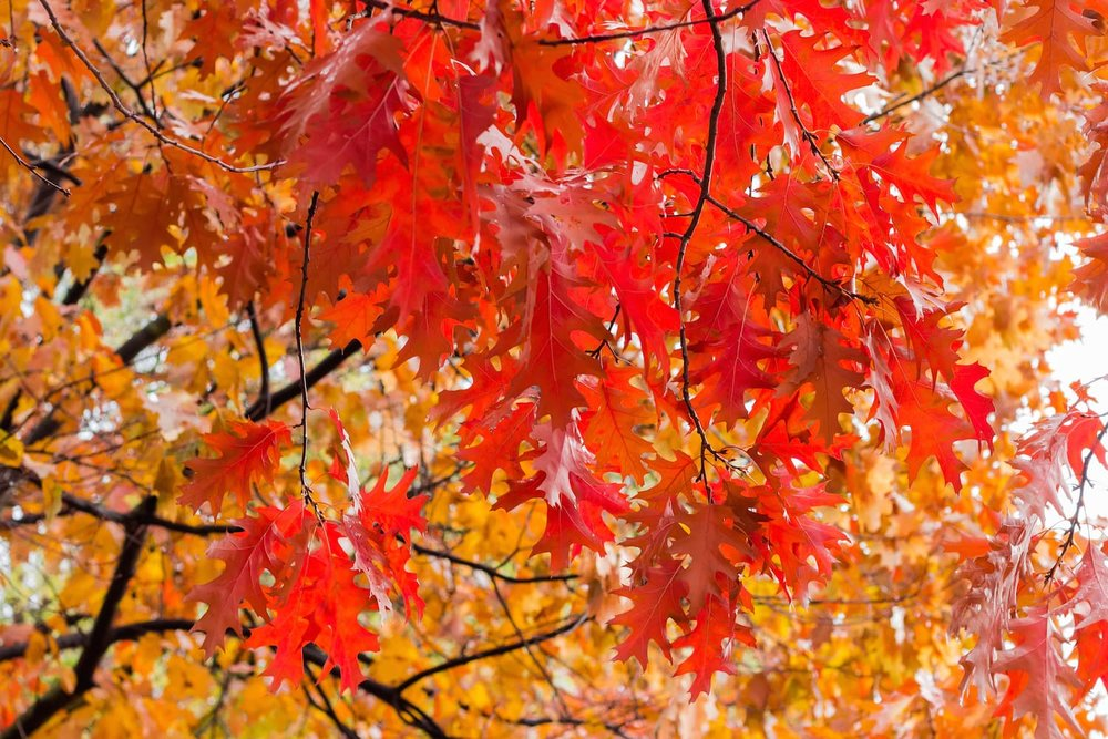 northern red oak leaves in autumn.jpg
