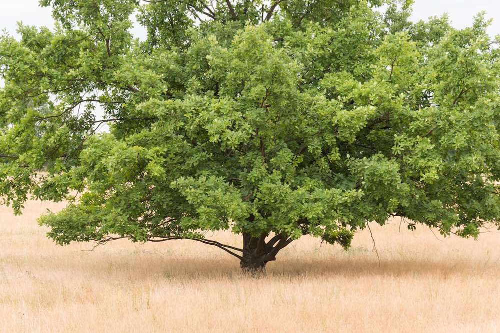 sessile-oak-in-heath-irish-oak-quercus-patrea- ID 119914399 © Andy Hoech | Dreamstime.com