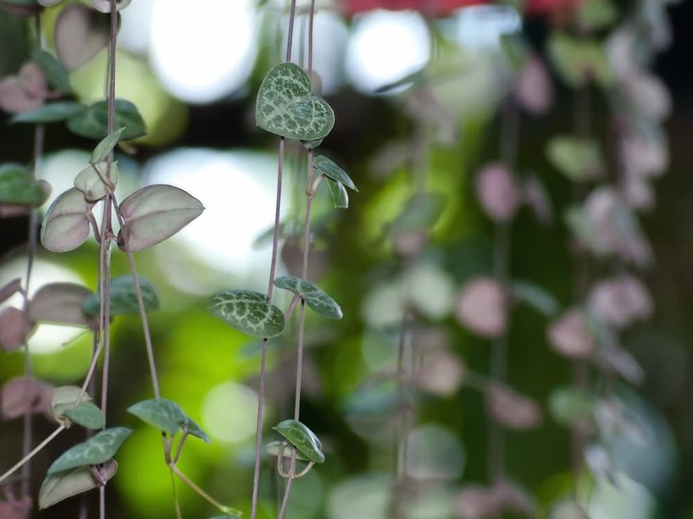 string-of-hearts-ceropegia-woodii ID 71717377 © Exsodus | Dreamstime.com