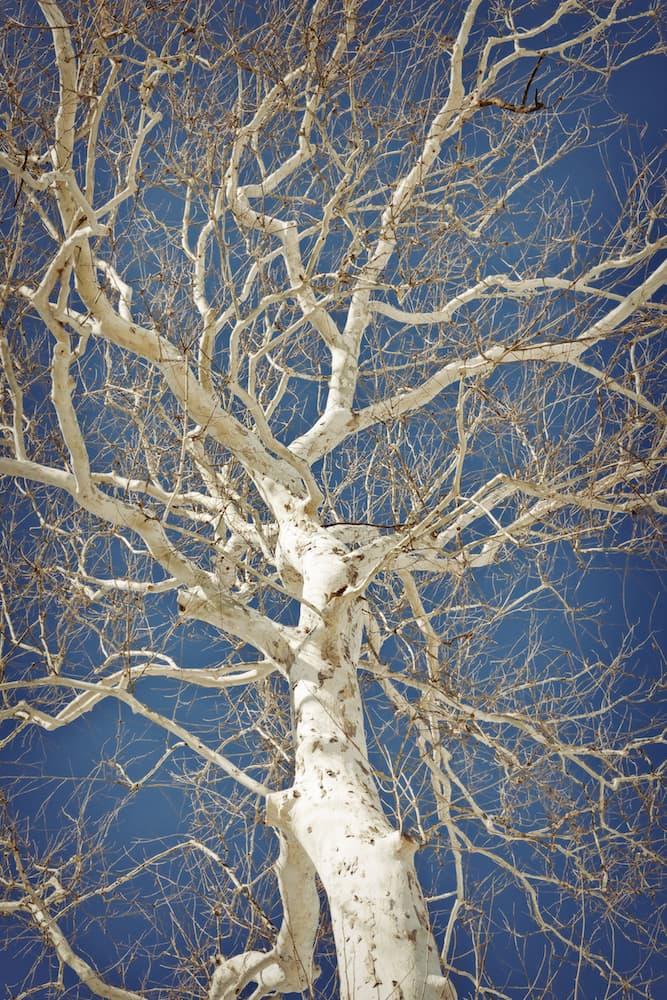 American-sycamore-platanus-occidentalis- dreamstime_xxl_51984897.jpg