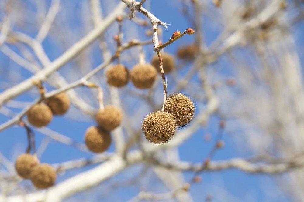 american_sycamore_buttonball_tree ID: 70675707 © Sheila Fitzgerald | Dreamstime.com