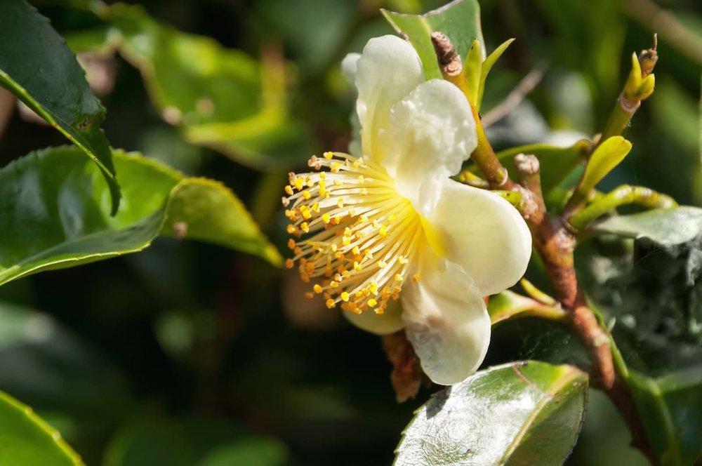 tea flower, white camellia sinensis, .jpg