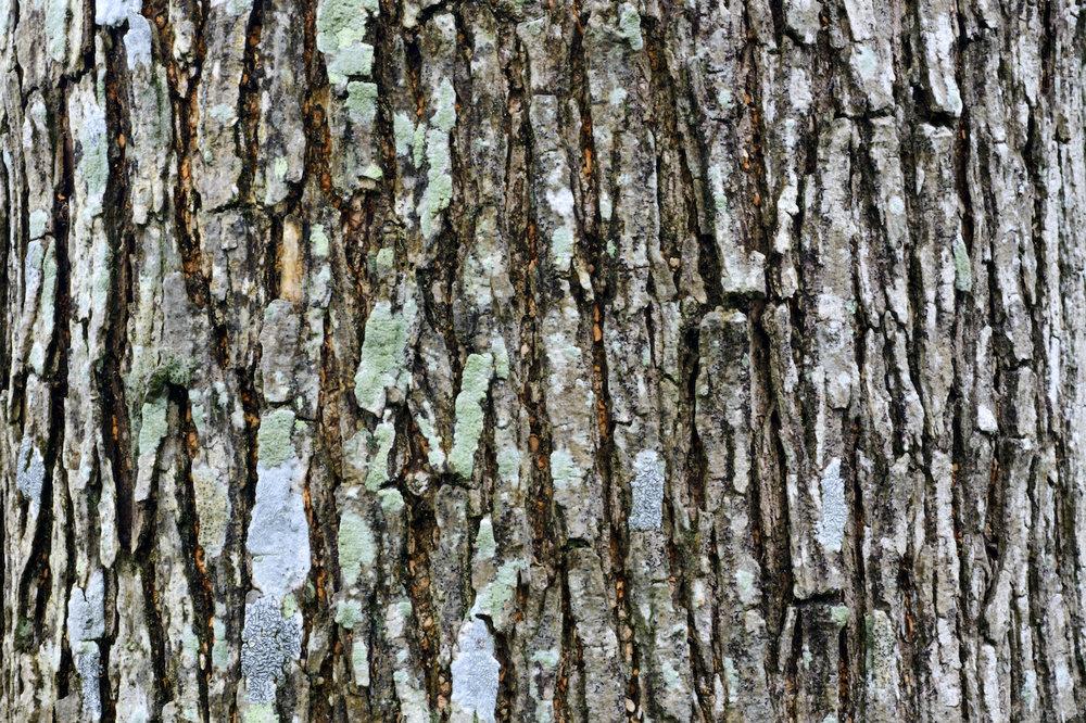 willow tree bark ID 67781166 © Linjerry | Dreamstime.com.jpg