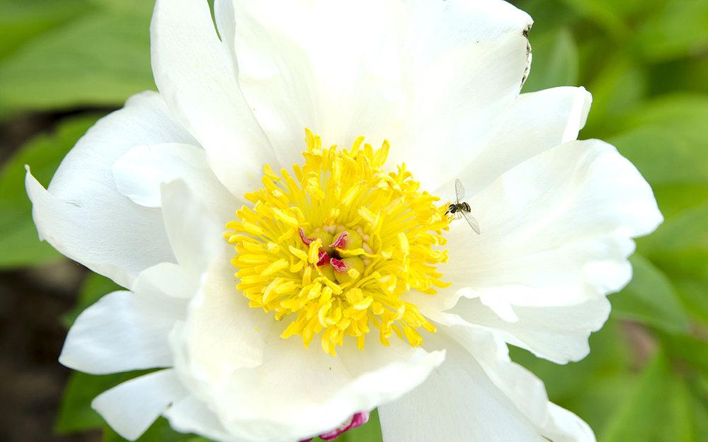 bee_flower_lowres.jpg