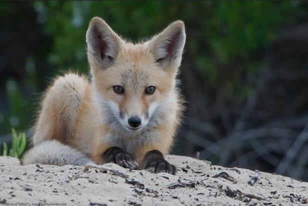 Fox Pups.png