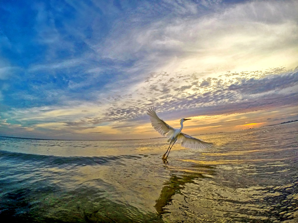 Snowy Egret Sunset