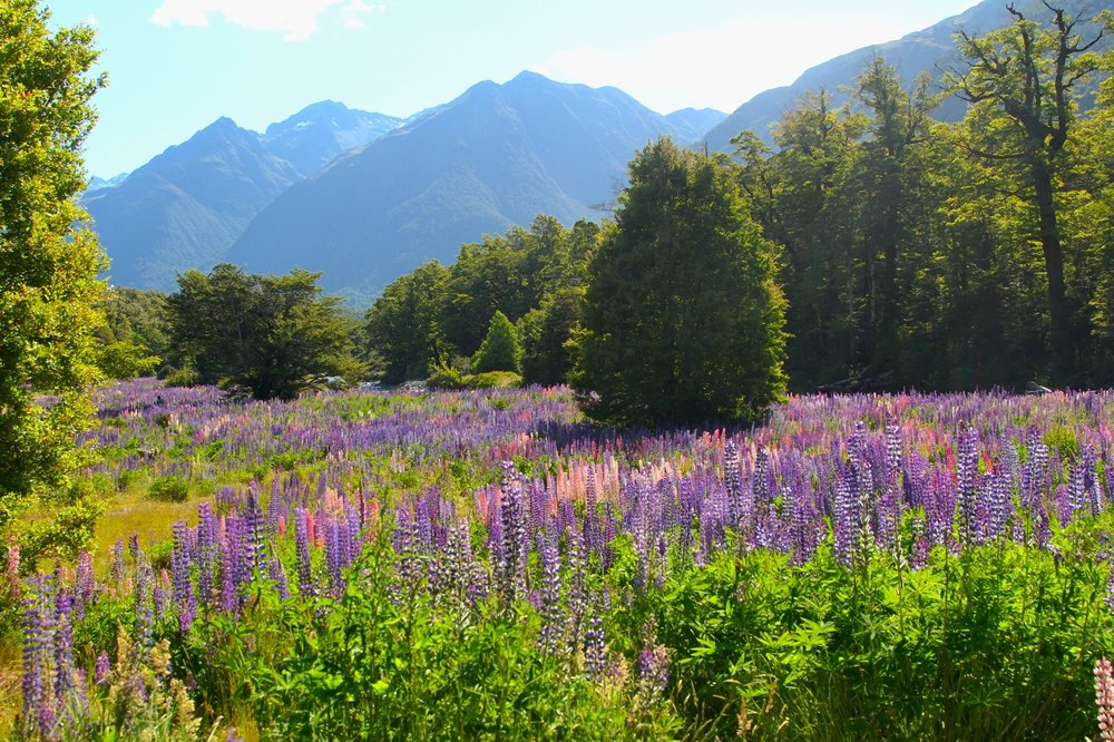 Lupine Fields near Cascade Creek