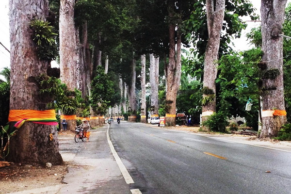 Lamphun - Tang Na trees lining the road for a few km