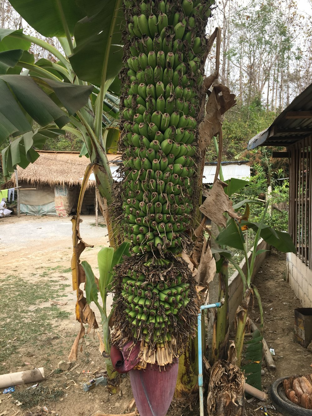 Banana tree on the side of the road. The red root is used in salads and various other things.