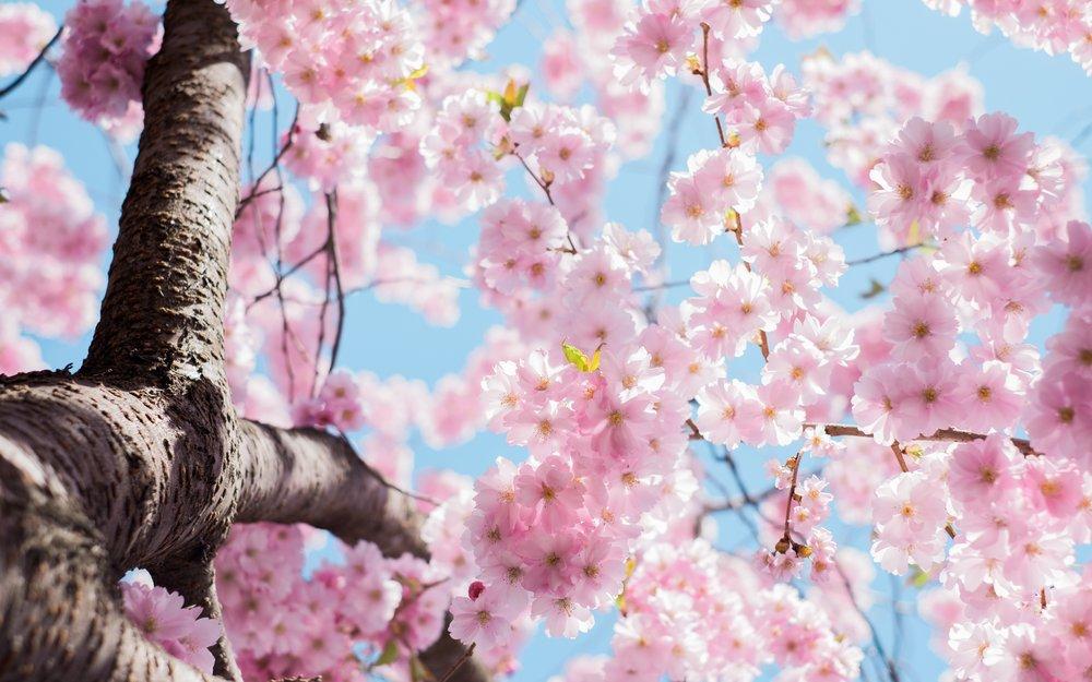 Cherry Blossom Festival Japan.jpg