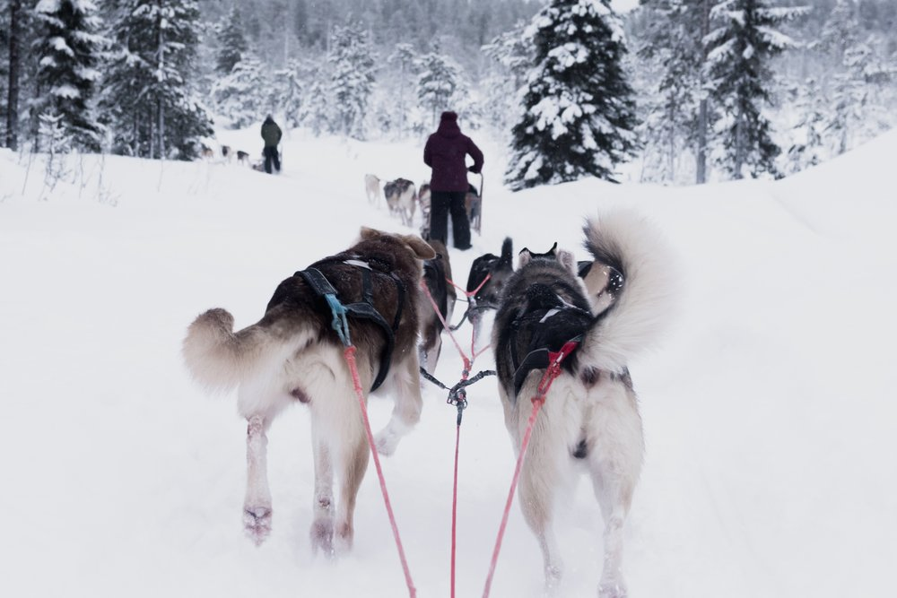 Inuit Culture Sled Dogs