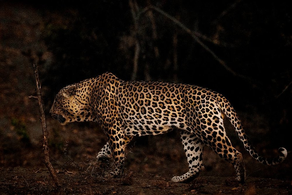 NellDickerson_NightGrowl_LeopardProwl.jpg
