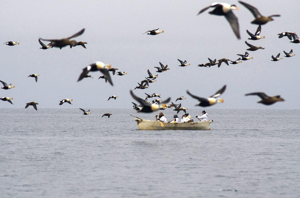 King Elder Ducks and Crew in Skin Boat