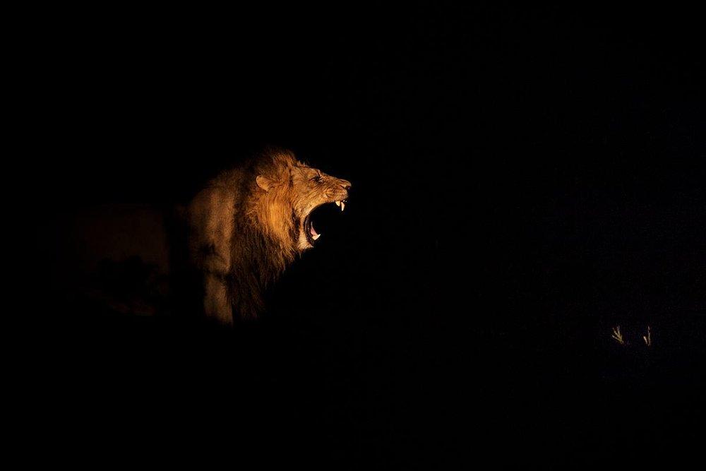 NellDickerson_NightGrowl_Lion.jpg