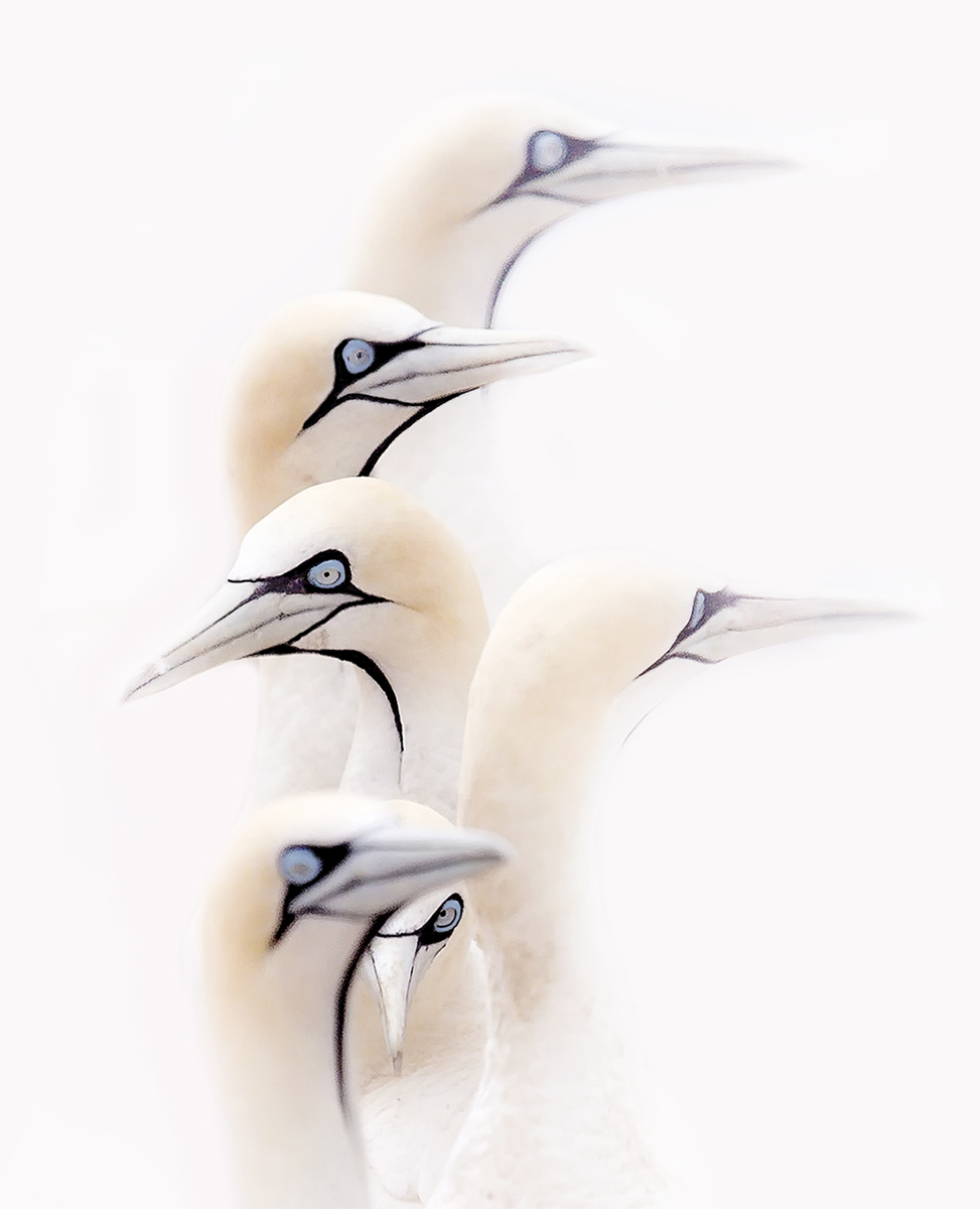 Prelena Soma Owen_Gannets in the Mist.jpg