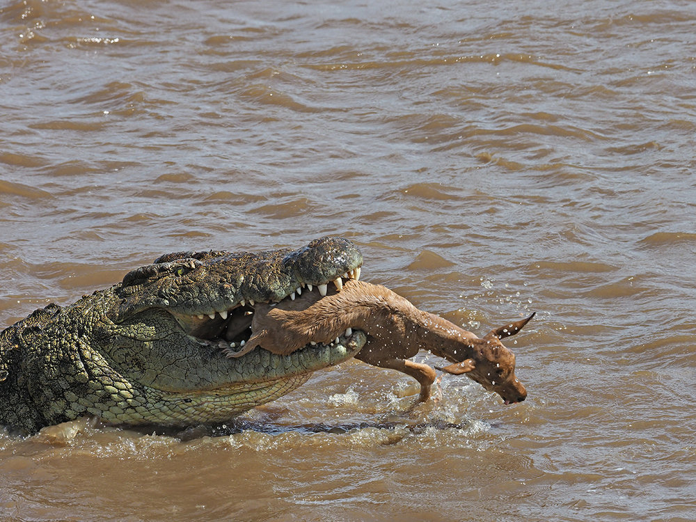 RanjanRamchandani_Prey and predator_The Crocodile.jpg