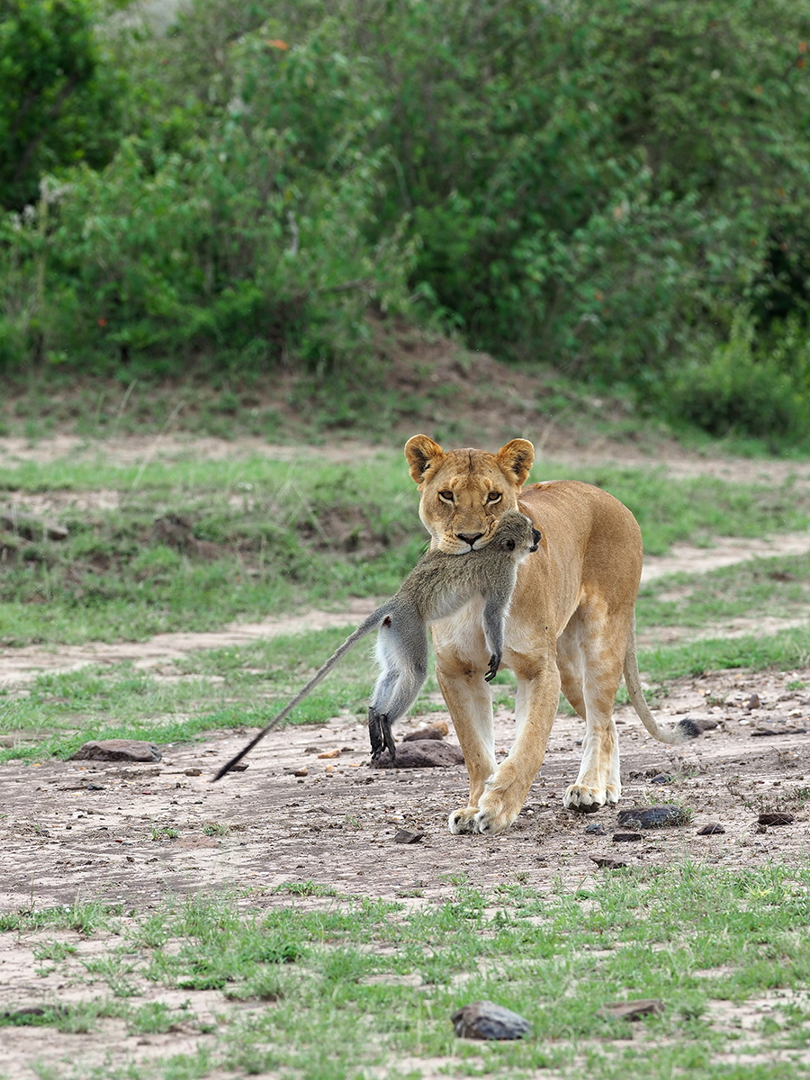 RanjanRamchandani_Prey and predator_The Lioness.jpg