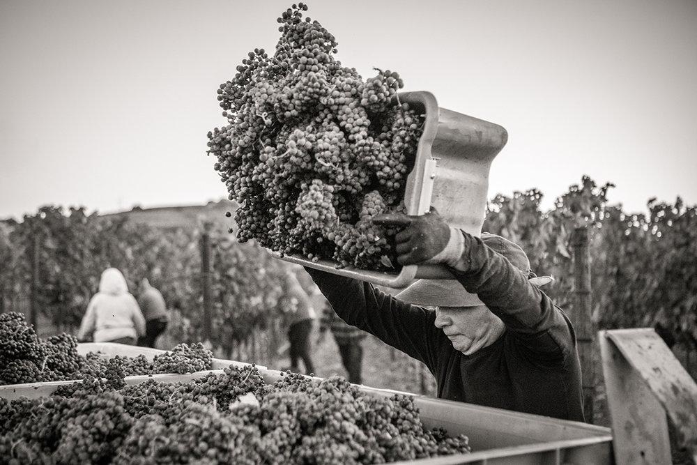 SuzanneBeckerBronk_Vineyard Women_Harvest 1.jpg