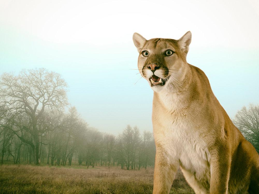 LennetteNewell mountain lion.jpg