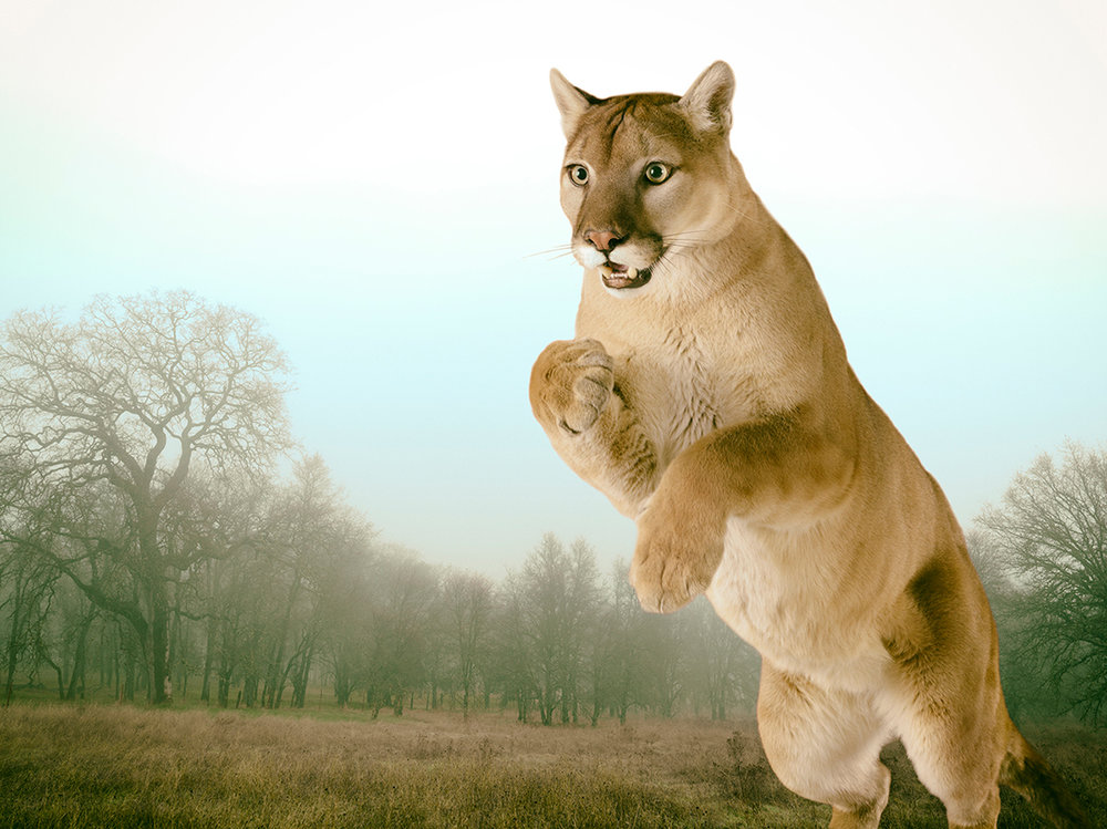 LennetteNewell_mountain lion 3.jpg